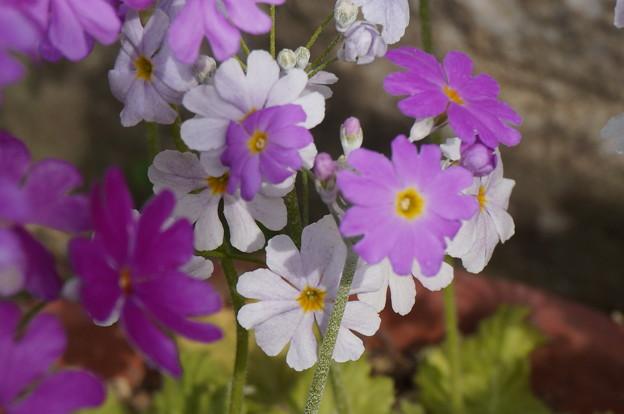 実家の花24