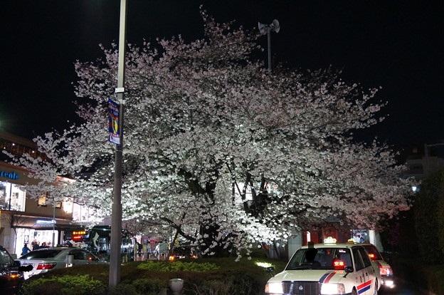 駅前ロータリーに立つ桜の木