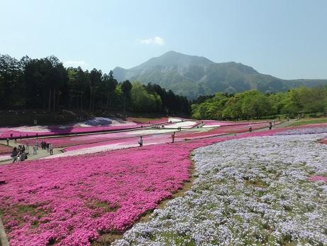 芝桜 10