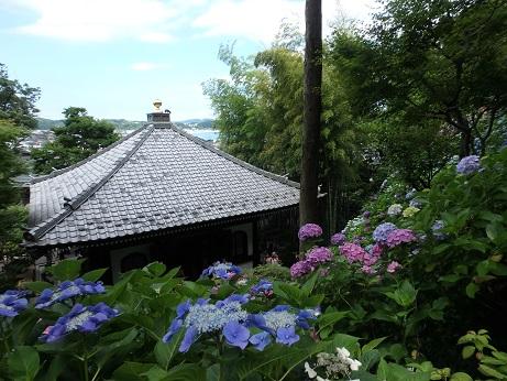 長谷寺 紫陽花 10