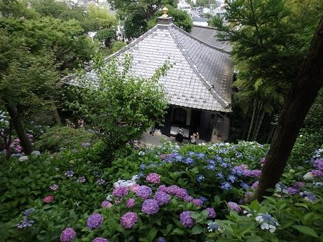 長谷寺 紫陽花 12