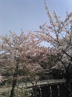 hikonezyousakura.jpg