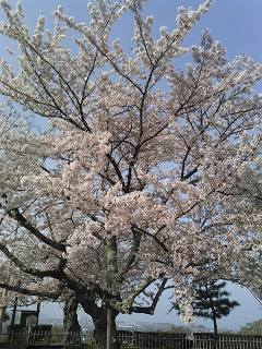 sakurasakura.jpg