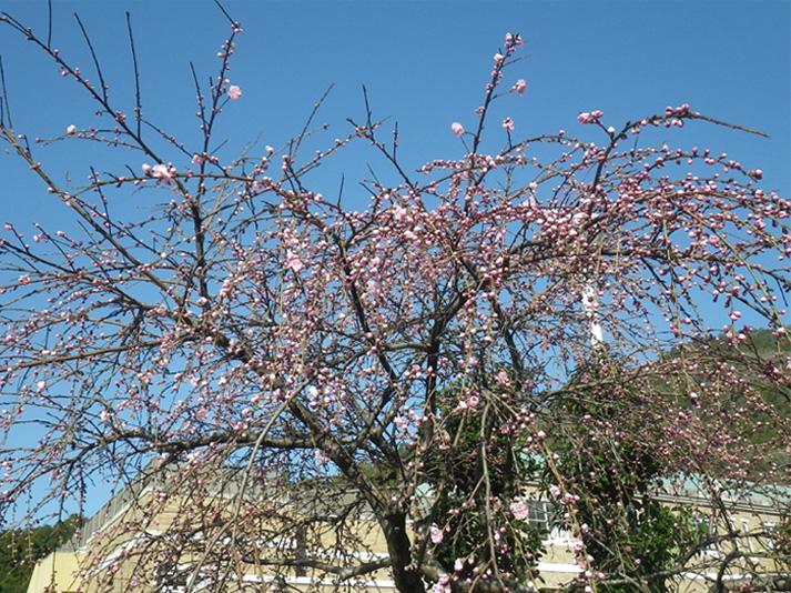 花桃が咲き出した_edited-1