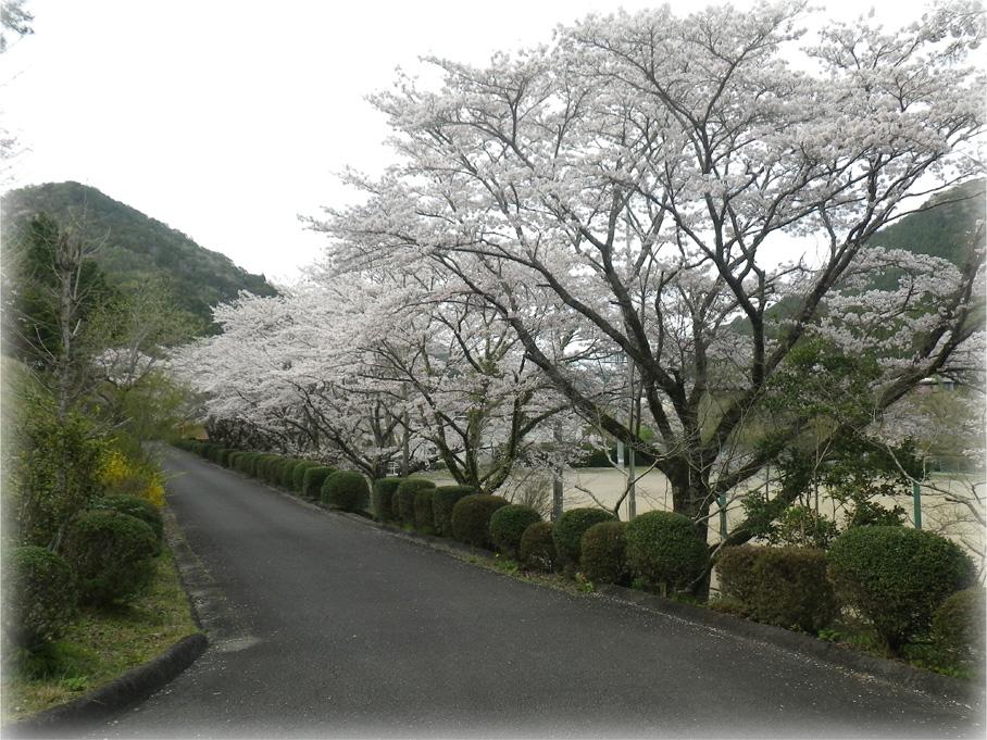 山びこの丘桜並木_edited-1