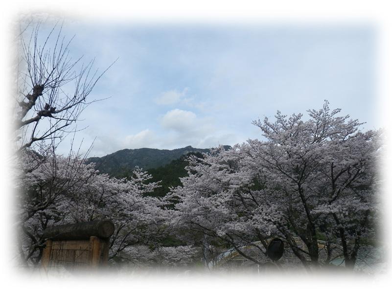 山びこの丘棚山をバックに桜_edited-1