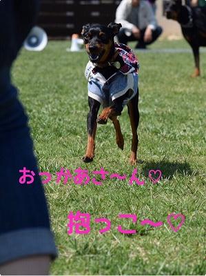 s-ミニピン滋賀③ (7)