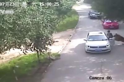 【衝撃!】サファリパークでトラに襲われる!衝撃映像!