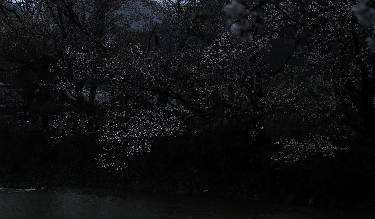 X038高野川桜