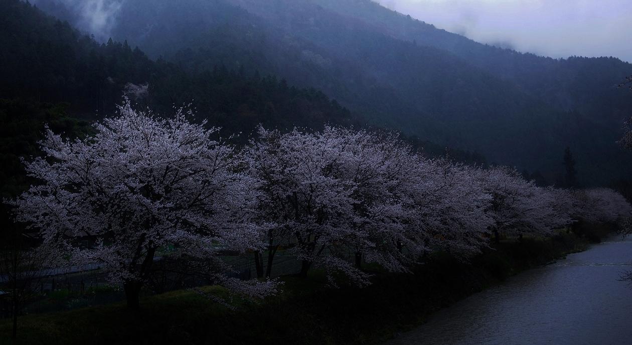 X051 - コピー高瀬川桜