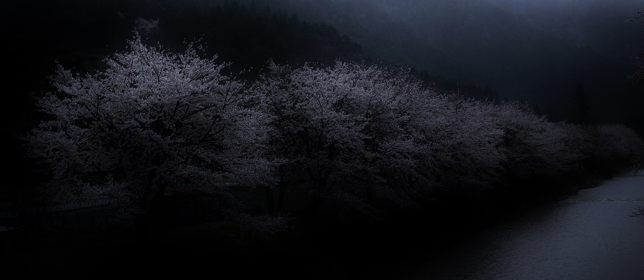 X051高瀬川桜