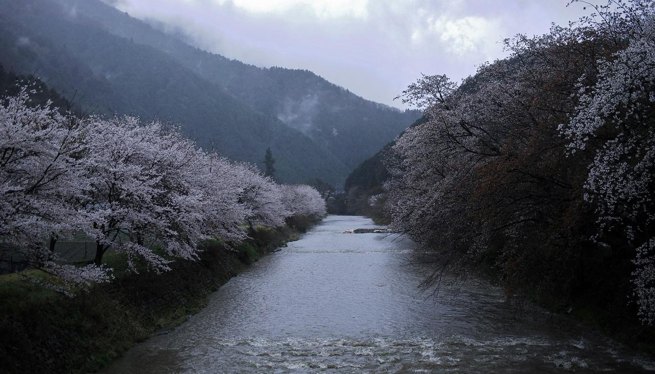 X048高瀬川桜