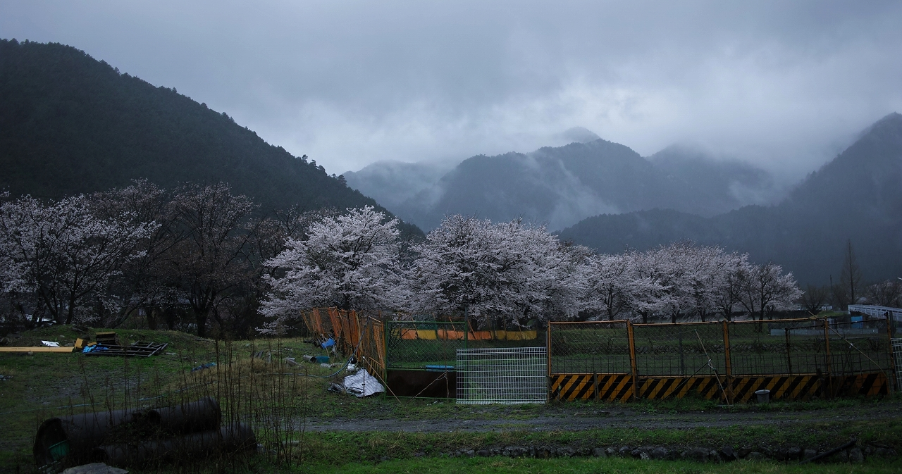 X062高瀬川桜