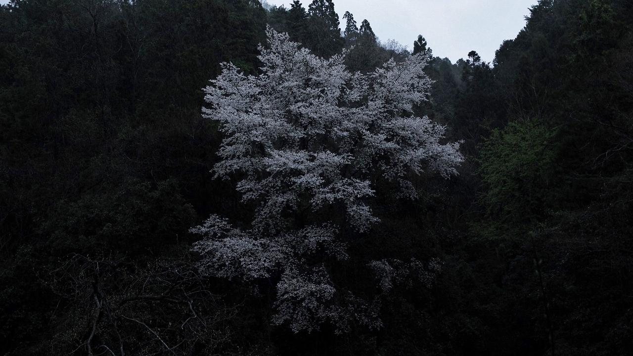 X001高瀬川桜