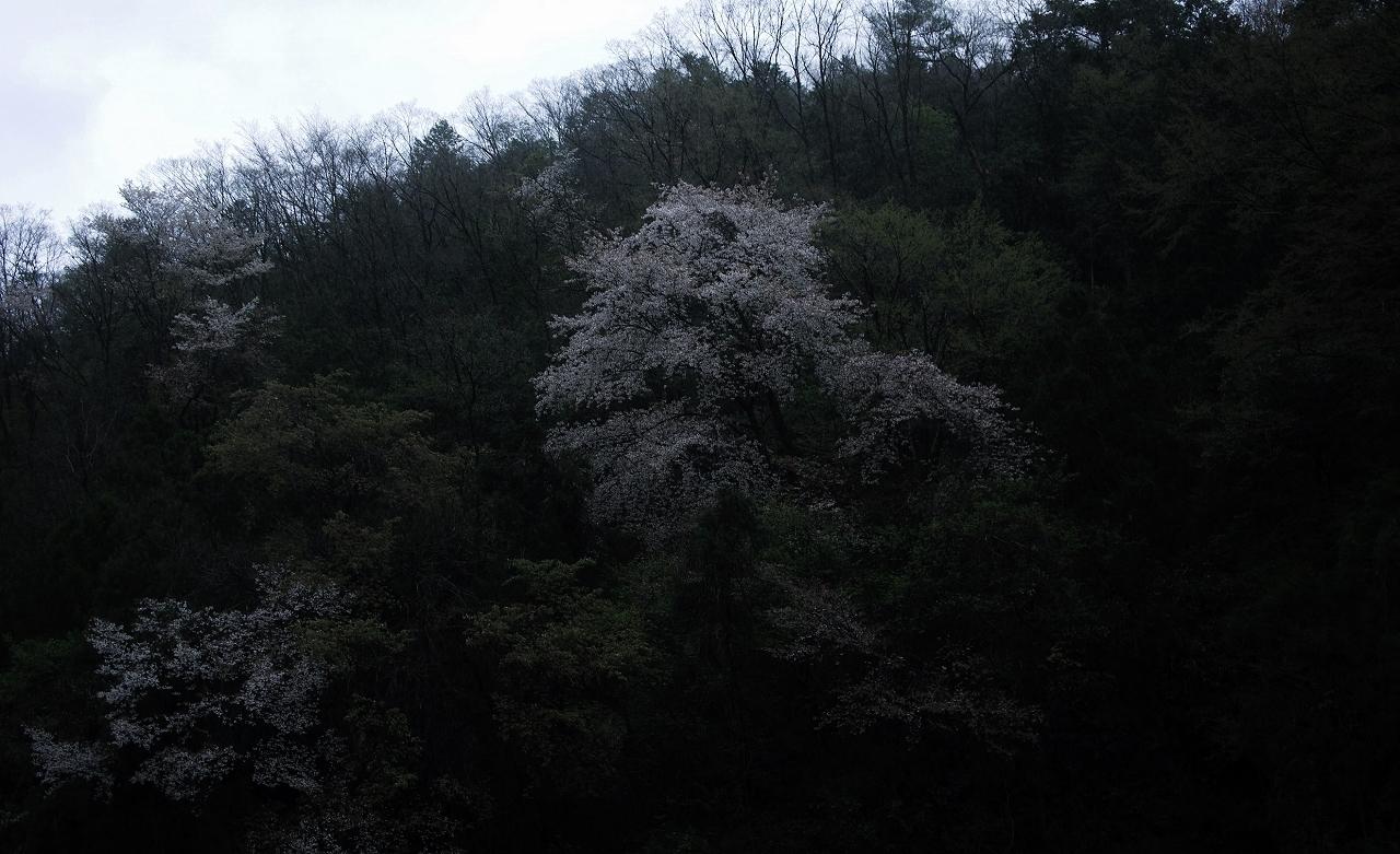 X007高瀬川桜