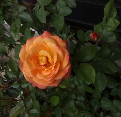 h28 アンネのバラ最初 (1)