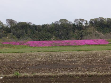 葉山島の芝桜