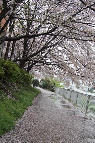 2016-4桜のトンネル
