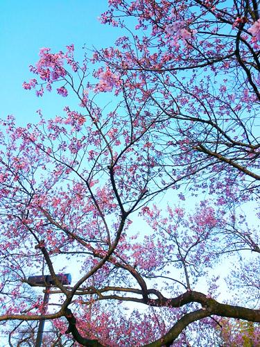 2016桜8