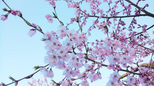 2016桜10