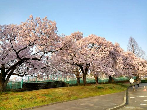 2016桜11