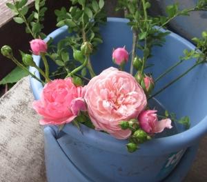 バケツに薔薇