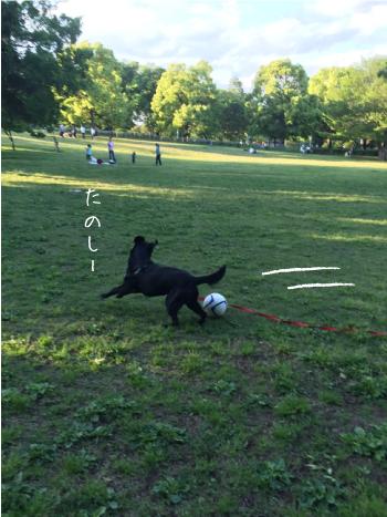 公園で遊ぶラブラドール