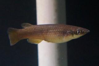 パキパンチャクス・オモロノータス雌(東山)