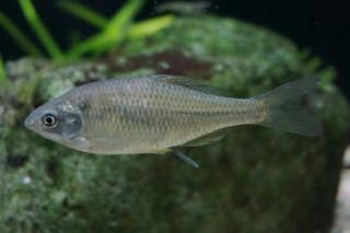 カネヒラ雌(湧水)