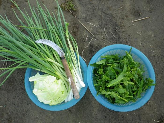 収穫16_04_06