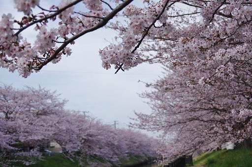 4-10矢那川桜②