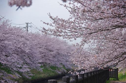 4-10矢那川桜①