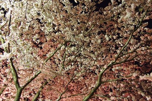 4-10夜桜③