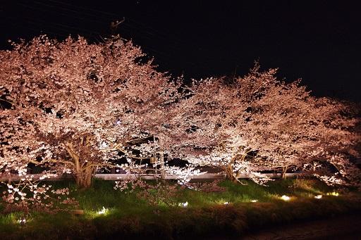 4-10夜桜①