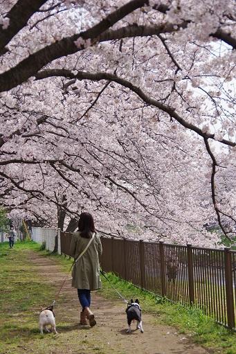 4-10桜トンネルママ