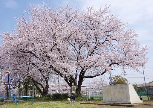 4-6桜の大木