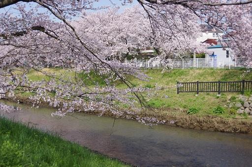 4-6桜と川