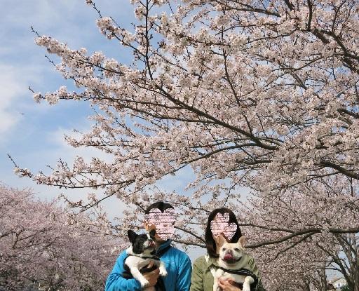 4-6家族桜