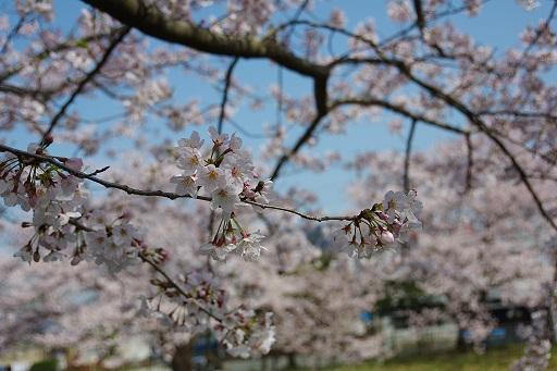 4-6ママ桜アップ