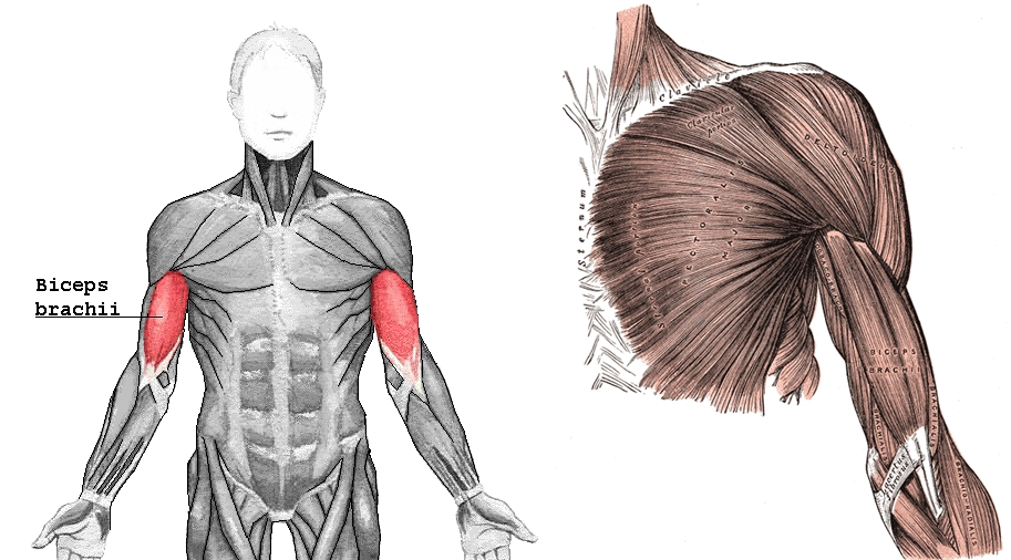 Biceps_brachii-horz.jpg