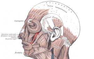 Musculuszygomaticusminor.png
