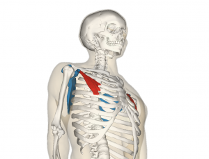 Pectoralis_minor_muscle_and_shoulder_blade.png