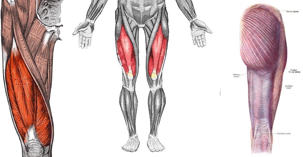 Quadriceps-horz.jpg