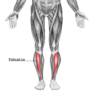 Tibialis_20160709092320bad.png