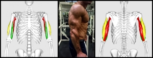 Triceps_brachii_muscle10-horz.jpg