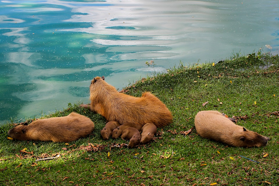 capybara-599549_960_720.jpg