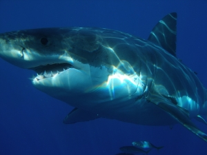 great-white-shark-398276_960_720.jpg