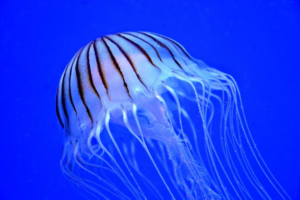 jellyfish-1249509_960_720.jpg