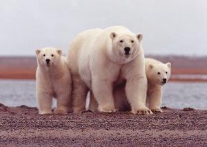 polar-bear-674001_960_720.jpg