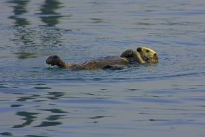 sea-otter-442246_960_720.jpg